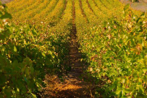 Vignobles près de Podgorica